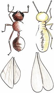 Termite identification-Ant vs Termite